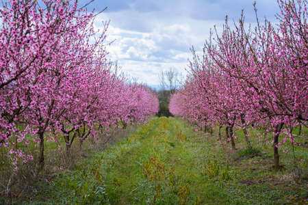 Beautiful flowered field of cherry Stock Photo