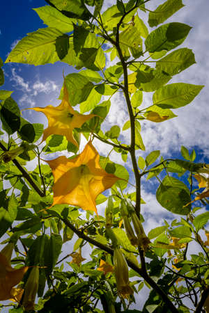Brugmansia with yellow flowers, Reunion Island Stock Photo