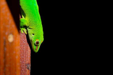 A beautiful green gecko animal at Reunion Island