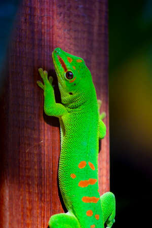 A beautiful green gecko animal at Reunion Island