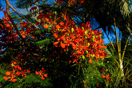 Red flowers tree, called Delonix Regia, Reunion Island