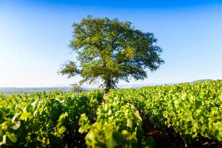 Oak tree of Py with Morgon vineyards, Beaujolais, France