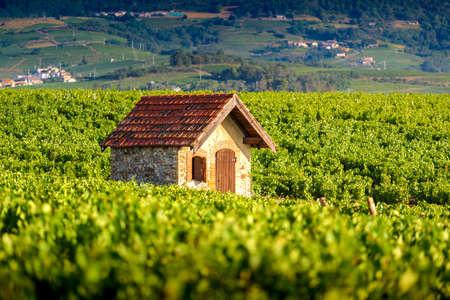 Typical hut in vineyards, Beaujolais, France 版權商用圖片