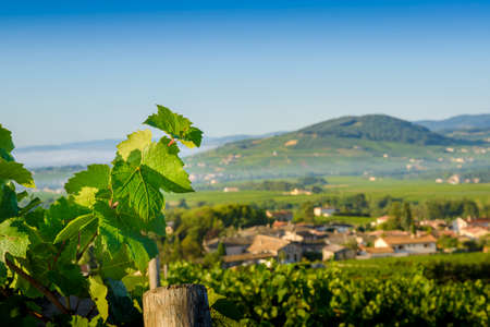 Leaves of vines and Brouilly hill, Beaujolais, France