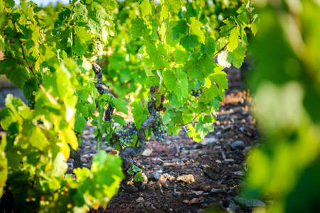 Gamay grapes on vines with lush green leaves, Beaujolais, France