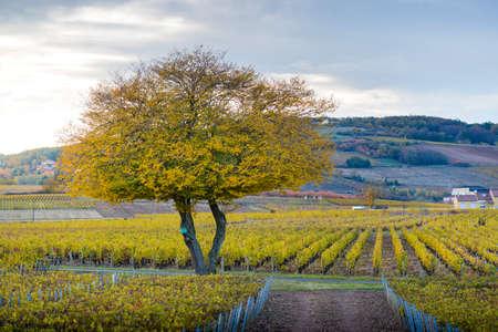 Vineyards of Frontenas at fall season, Beaujolais, France Фото со стока - 131695401