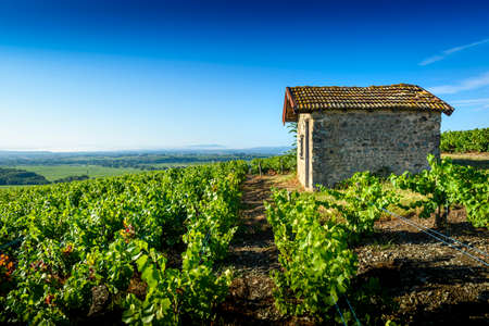 Typical hut in vineyards, Beaujolais, France Фото со стока - 131695521
