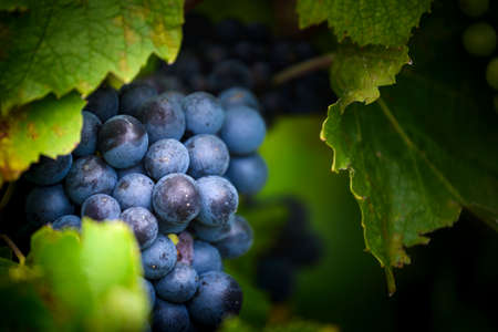 Gamay grapes on vines with lush green leaves Фото со стока - 131695526