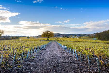 Vineyards of Frontenas at fall season, Beaujolais, France