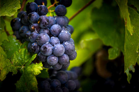 Gamay grapes on vines with lush green leaves Фото со стока - 131695569