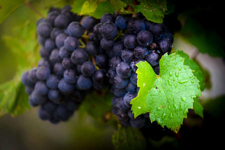 Gamay grapes on vines with lush green leaves Фото со стока - 131695583