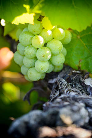 Gamay grapes on vines with lush green leaves, Beaujolais, France Фото со стока - 131695654