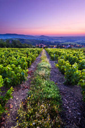 Sunrise is coming over vineyards of Beaujolais and Salles Arbuissonnas village, France Фото со стока