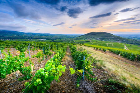Mont Brouilly hill seen from vineyards at sunrise time, landscape of Beaujolais Фото со стока