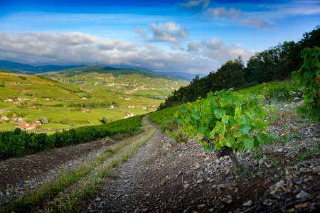 Vine and lush green leaves in the landscape of Beaujolais, France