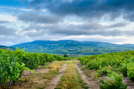 Landscape of vineyards and footpath at sunrise, Beaujolais Фото со стока