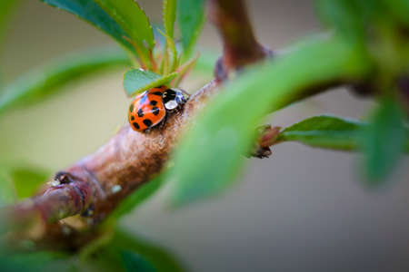 Red ladybugs in garden on tree branch