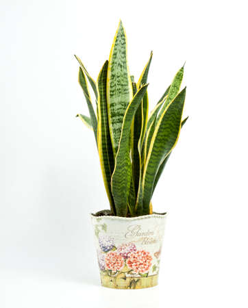 Interior decoration. Sansevieria trifasciata or Snake plant in pot on a white background Imagens