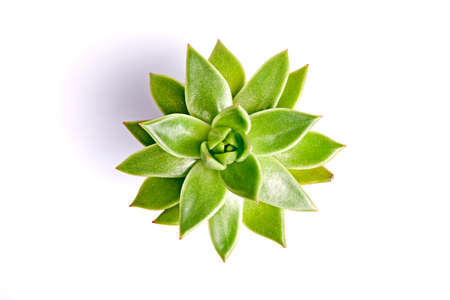sharply: Succulent plant isolated on a white background. Top view