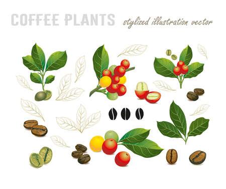 Raccolta dei chicchi di caffè su un ramo della pianta del caffè, delle bacche mature e non mature isolate su fondo bianco