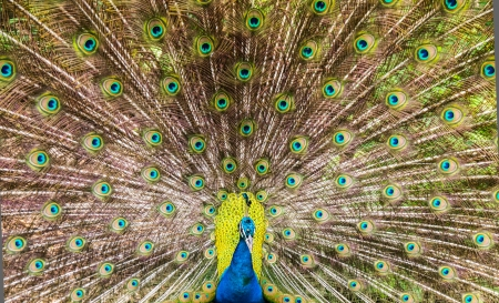 spreaded: Spreaded tail of a beautiful peacock at a zoo Stock Photo