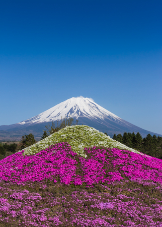 Mt Fuji and pink moss mountain with blue sky at Fuji Shibazakura Festival in Japan photo