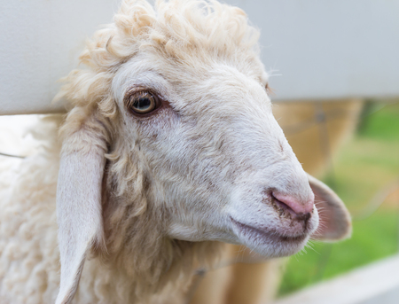 Closeup sheep photo