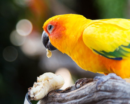 The Sun Conure Parrot eating a banana with Bokeh background photo