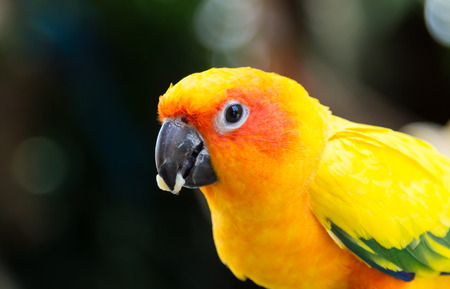 The Sun Conure Parrot eating food with Bokeh background photo