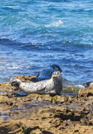 seal brown: Seals on the rock at La Jolla Cove in San Diego, California, The United States of America