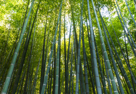 peace pipe: Bamboo forest with sunlight