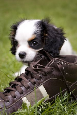 dog eating: dog eating a shoe in the grass Stock Photo
