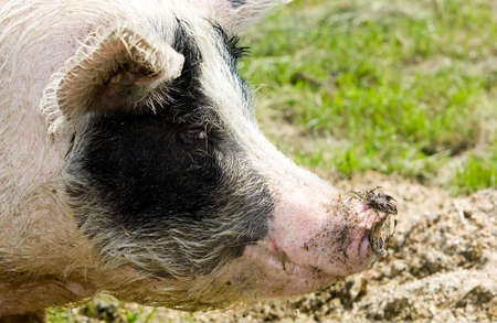 Portrait of a pig in the open field. photo