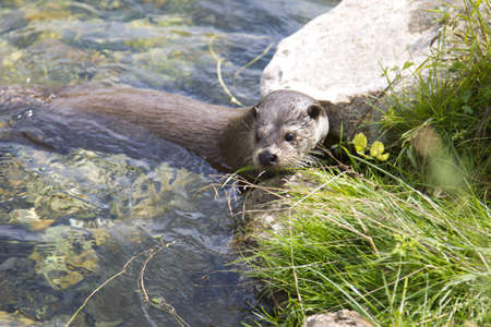 An otter is going back on land. Stock Photo