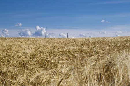 Large grain field with a blue sky. Stock Photo - 7554454
