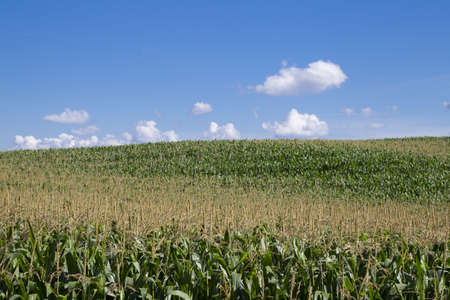 Large corn fields on the hills Stock Photo