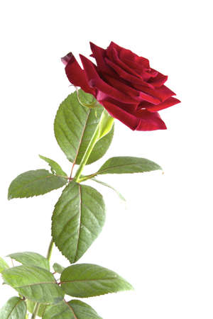 Single red rose on a white background.