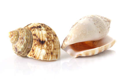 Two sea shells on a white background. photo