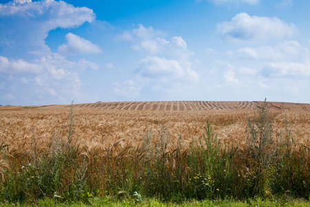 Large wheat field waiting to be harvest.