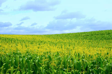 Large cornfield in the open nature Stock Photo