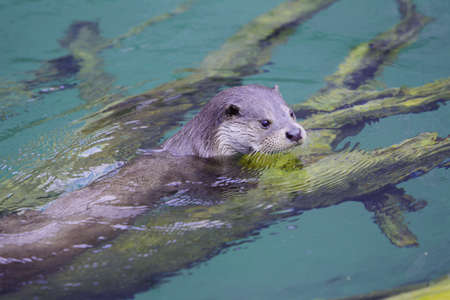 Otter is swmming in the water and looking out.