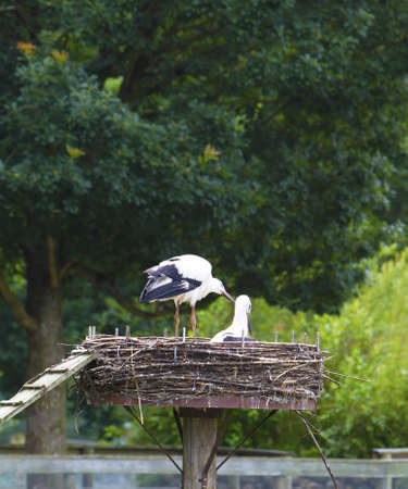Two storks in a nest outdoors.