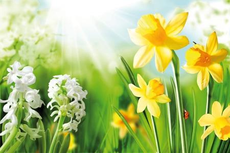 Vrolijke voorjaarsbollen. Achtergrond van bloeiende witte narcissen en gele narcissen in het voorjaar zonneschijn