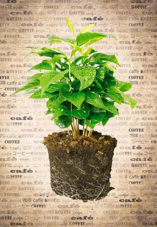 coffeetree: Potted plant removed from its pot and showing the root structure on aged vintage paper with the word coffee in multiple languages.