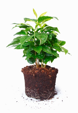 coffeetree: Potted plant removed from its pot and showing the root structure isolated on white Stock Photo