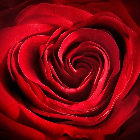 Heart shaped Rose for festive celebration. Close up of a dark red summer flower photo