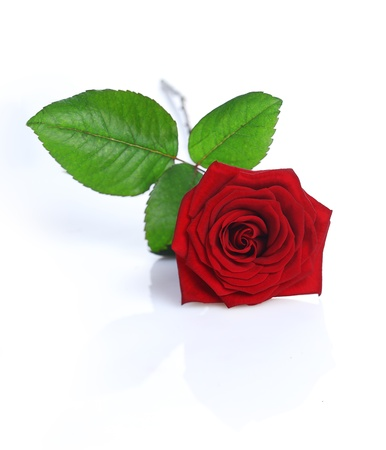 olfaction: A Red Rose isolated on white background Stock Photo