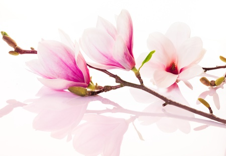 Beautiful fresh delicate pink spring flowers and buds with reflection on a white studio background Stock Photo - 12926900