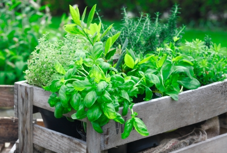 crate: Fresh basil growing in a crate amongst a variety of other organic herbs for use as an ingredient in home cooking