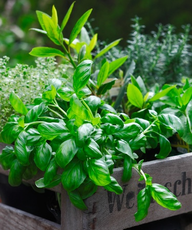 officinal: Fresh organic basil growing in a rustic wooden crate together with other potted herbs for use in the kitchen